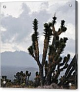 Joshua Tree Forest Ivanpah Valley Acrylic Print