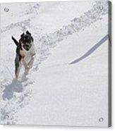 Joy Of Snow Acrylic Print