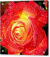 Joyful Rose Acrylic Print