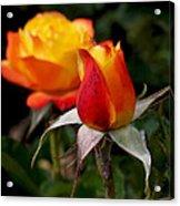 Judy Garland Rose Acrylic Print by Rona Black