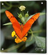 Julia Butterfly 1 Acrylic Print