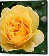 Julia Child Floribunda Rose Acrylic Print