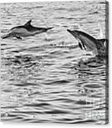 Jump For Joy - Common Dolphins Leaping. Acrylic Print