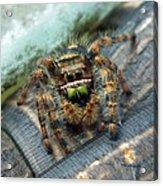 Jumper Spider 3 Acrylic Print