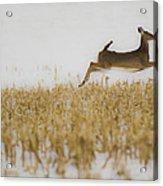 Jumping Doe In Corn Field Acrylic Print