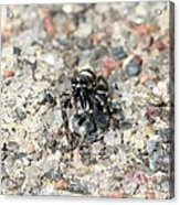 Jumping Spider Face On Acrylic Print