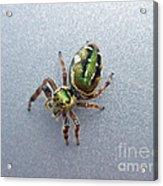 Jumping Spider - Green Salticidae Acrylic Print