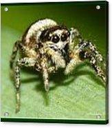 Jumping Spider Acrylic Print
