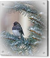Junco In Pine Acrylic Print