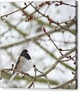 Junco In Snow Acrylic Print