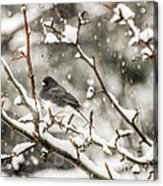 Junco In The Snow Acrylic Print