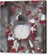 Junco Puffed Up On Crabapple Tree Acrylic Print