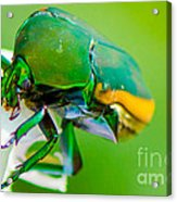 June Bug Fig Beetle Acrylic Print