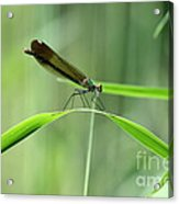 June Damselfly  Acrylic Print