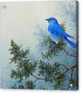 Juniper Berries Acrylic Print