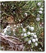 Juniper Berries Ripe Acrylic Print