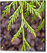 Juniper Leaf Acrylic Print