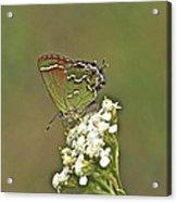 Juniper Or Olive Hairstreak Butterfly - Callophrys Gryneus Acrylic Print