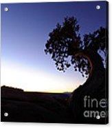 Juniper Tree At Dawn Acrylic Print