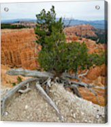 Juniper Tree Clings To The Canyon Edge Acrylic Print