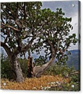 Juniper Tree On The Edge Of The Verde Valley Acrylic Print