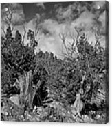 Juniper Trees At The Ghost Ranch Black And White Acrylic Print