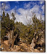 Juniper Trees At The Ghost Ranch Color Acrylic Print