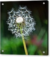 Just A Dandy Acrylic Print