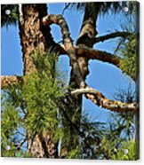 Just A Tangle Of Pine Tree Branches Acrylic Print