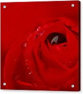 Just A Wet Rose Acrylic Print