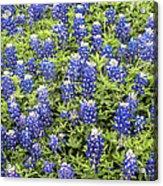 Just Bluebonnets Acrylic Print