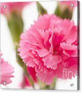 Just Carnations Acrylic Print