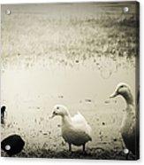 Just Duckie  Acrylic Print