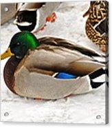 Just Ducky Acrylic Print by Catherine Renzini