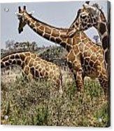 Just Giraffes Acrylic Print