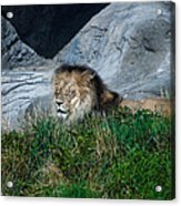 Just Lion Around Acrylic Print