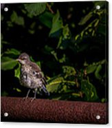 Just Out Of The Nest Acrylic Print