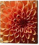Just Peachy Dahlia Acrylic Print