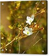 Just Two Little White Flowers Acrylic Print
