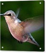 Juvenile Anna Hummingbird Acrylic Print