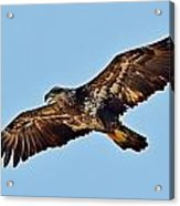 Juvenile Bald Eagle In Flight Close Up Acrylic Print