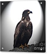Juvenile Bald Eagle Year 1 Acrylic Print