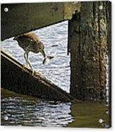 Juvenile Black Crowned Night Heron Acrylic Print