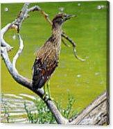 Juvenile Black-crowned Night Heron  Acrylic Print