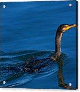 Juvenile Cormorant Swim Acrylic Print