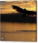 Juvenile Eagle Golden Sunset Acrylic Print