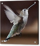 Juvenile Female Anna's Hummingbird In Flight Acrylic Print