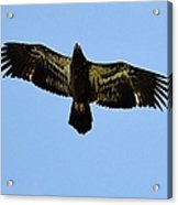 Juvenile Flight 8229 Acrylic Print