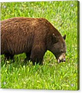 Juvenile Grizzly Bear In Kootenay Np-bc Acrylic Print