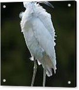 Juvenile Little Blue Heron On Sign Acrylic Print